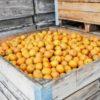 Ravishing Russets In Bin at Cryal's Farm