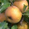 Ravishing Russets On Tree at Cryals Farm